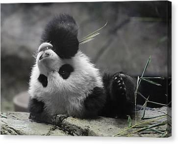 Panda Cub At National Zoo Canvas Print by Jack Nevitt