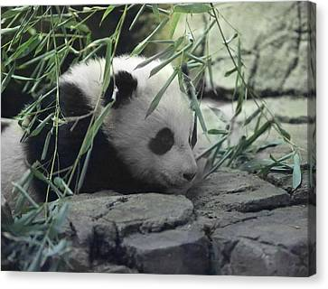 Panda Cub Bao Bao Canvas Print by Jack Nevitt