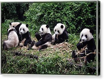 Pandas In China Canvas Print by Joan Carroll