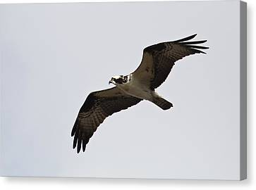 Pandion Haliaetus Canvas Print by Tammy Schneider