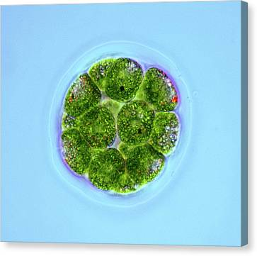 Pandorina Green Algae Canvas Print by Marek Mis