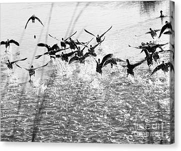Panic In The Pond Canvas Print