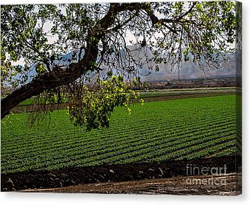 Romaine Canvas Print - Panoramic Of Winter Lettuce by Robert Bales