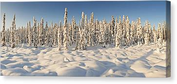 Panoramic View Of Snow-covered Spruce Canvas Print by Ray Bulson