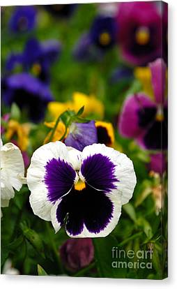 Pansies Canvas Print by Amy Cicconi