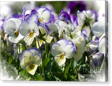 Pansies In Loomis Canvas Print