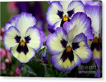 Pansy Faces Canvas Print by Theresa Willingham