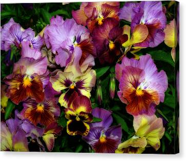 Pansy Mania Canvas Print