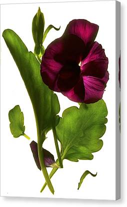 Pansy Purple Canvas Print
