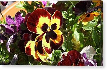 Pansy Time Canvas Print by Julie Koretz