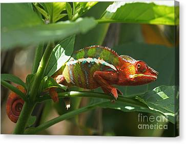 Canvas Print featuring the photograph Panther Chameleon Madagascar 1 by Rudi Prott