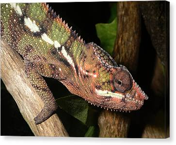 Panther Chameleon On A Branch Canvas Print