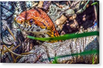 Pantherophis Guttatus Canvas Print by Rob Sellers