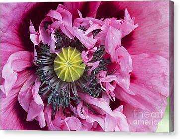 Papaver Somniferum Pink  Canvas Print by Tim Gainey