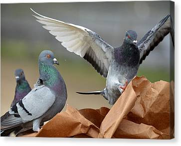 Paper Bag Pigeons 3 Canvas Print by Fraida Gutovich