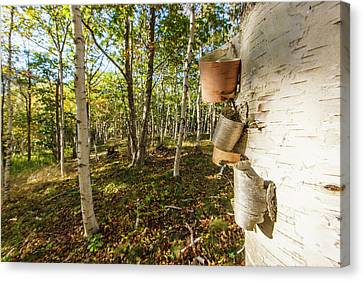 Bark Paper Canvas Print - Paper Birch Trees In Maine's Acadia by Jerry and Marcy Monkman