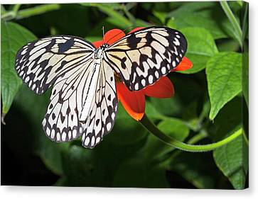 Paper Kite Butterfly Canvas Print by Dirk Wiersma