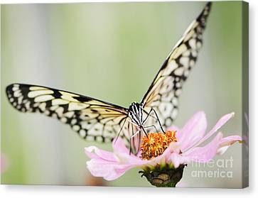 Paper Kite Butterfly On Zinnia Canvas Print by Oscar Gutierrez