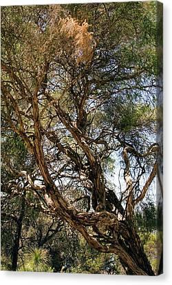 Tea Tree Canvas Print - Paperbark Tree (melaleuca Quinquenervia) by Adrian Thomas