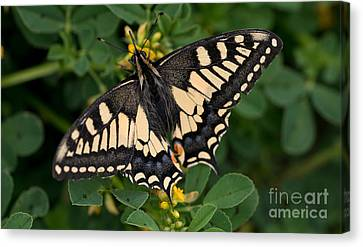 Papilio Machaon Butterfly Sitting On The Lucerne Plant Canvas Print by Jaroslaw Blaminsky