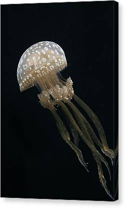 Papuan Jellyfish Canvas Print