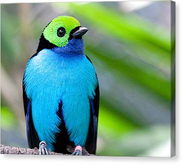 Canvas Print featuring the photograph Paradise Tanager by Nathan Rupert
