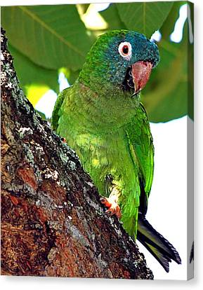 Parakeet In A Tree Canvas Print by Ira Runyan