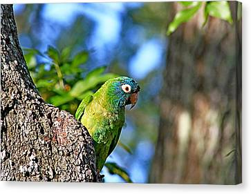Parakeet In The Park Canvas Print by Ira Runyan