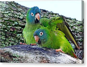 Parakeets In An Oak Tree Canvas Print