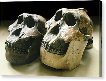 Paranthropus Boisei Skulls Canvas Print by Science Photo Library
