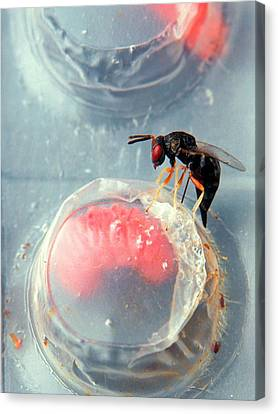 Parasitic Wasp On Boll Weevil Larva Canvas Print by Scott Bauer/us Department Of Agriculture