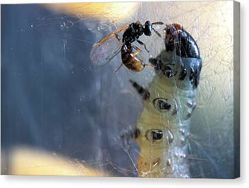 Parasitic Wasp On Leafroller Larva Canvas Print by Stephen Ausmus/us Department Of Agriculture