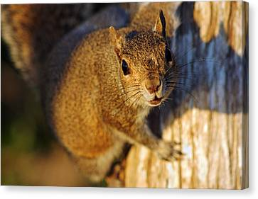 Canvas Print featuring the photograph Park Squirrel II by Daniel Woodrum