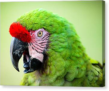 Parrot Canvas Print by Sebastian Musial