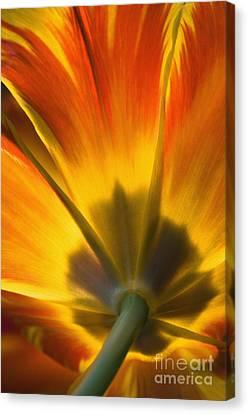 Parrot Tulip - D008405 Canvas Print