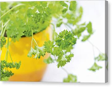 Culinary Canvas Print - Parsley by Design Windmill