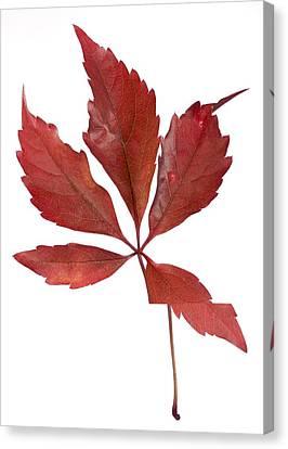 Parthenocissus Quinquefolia Leaf Canvas Print by Science Photo Library