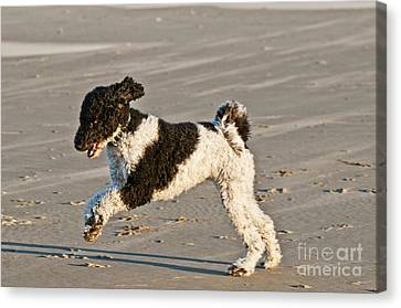 Parti Poodle Running On Beach Canvas Print