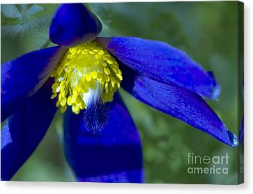 Pasque Flower Blue 3 Canvas Print by Sharon Talson