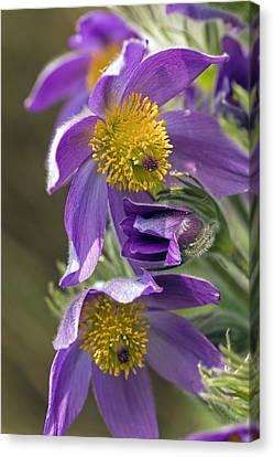 Pulsatilla Vulgaris Canvas Print - Pasque Flower (pulsatilla Vulgaris) by Science Photo Library