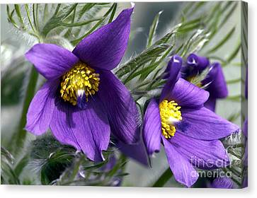 Pasque Flower Canvas Print by Sharon Talson