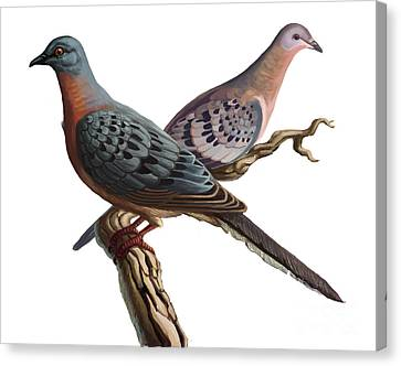 Passenger Pigeon  Canvas Print by Spencer Sutton