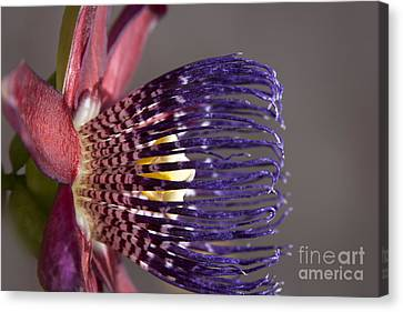 Passiflora Canvas Print - Passiflora Alata - Passion Flower - Ruby Star - Ouvaca by Sharon Mau