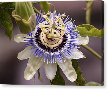 Passiflora Caerulea Canvas Print by Caitlyn  Grasso