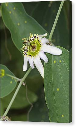 Passiflora Cuneata Canvas Print by Science Photo Library