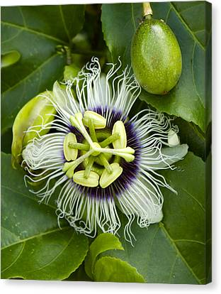 Passiflora Edulis With Fruit Canvas Print by Venetia Featherstone-Witty