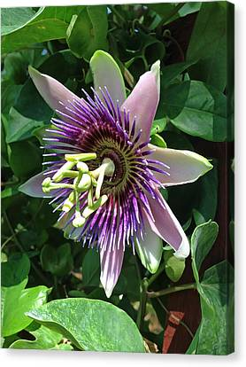 Passion Flower 5 Canvas Print by Aimee L Maher Photography and Art Visit ALMGallerydotcom