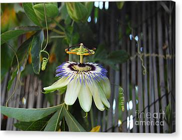 Passion Flower And Vines Canvas Print by Debra Thompson
