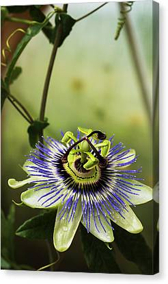 Passion Flower Blooms In A Greenhouse Canvas Print by Robert L. Potts