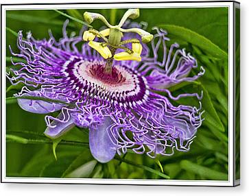 Passion Flower Easter Canvas Print by Geraldine Scull